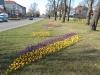 krokusy-rondo-w-zdrojach-img_130811