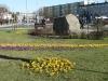 krokusy-rondo-w-zdrojach-img_131114